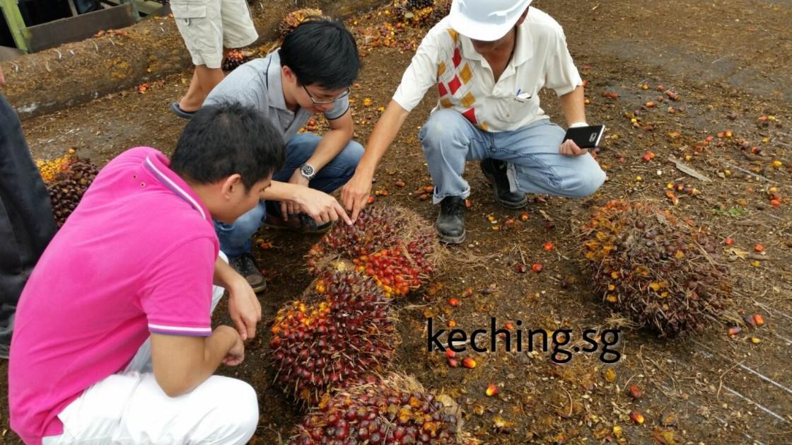 palm oil plantation in malaysia